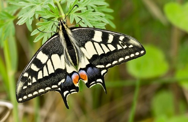 Swallowtail2C20NWT20Hickling20Broad2C20David20Rounce2C202320June2020122028Small29_623-3ba22be