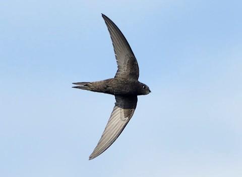 Swift-NE-Wildlife-Photography-480px-93daa17