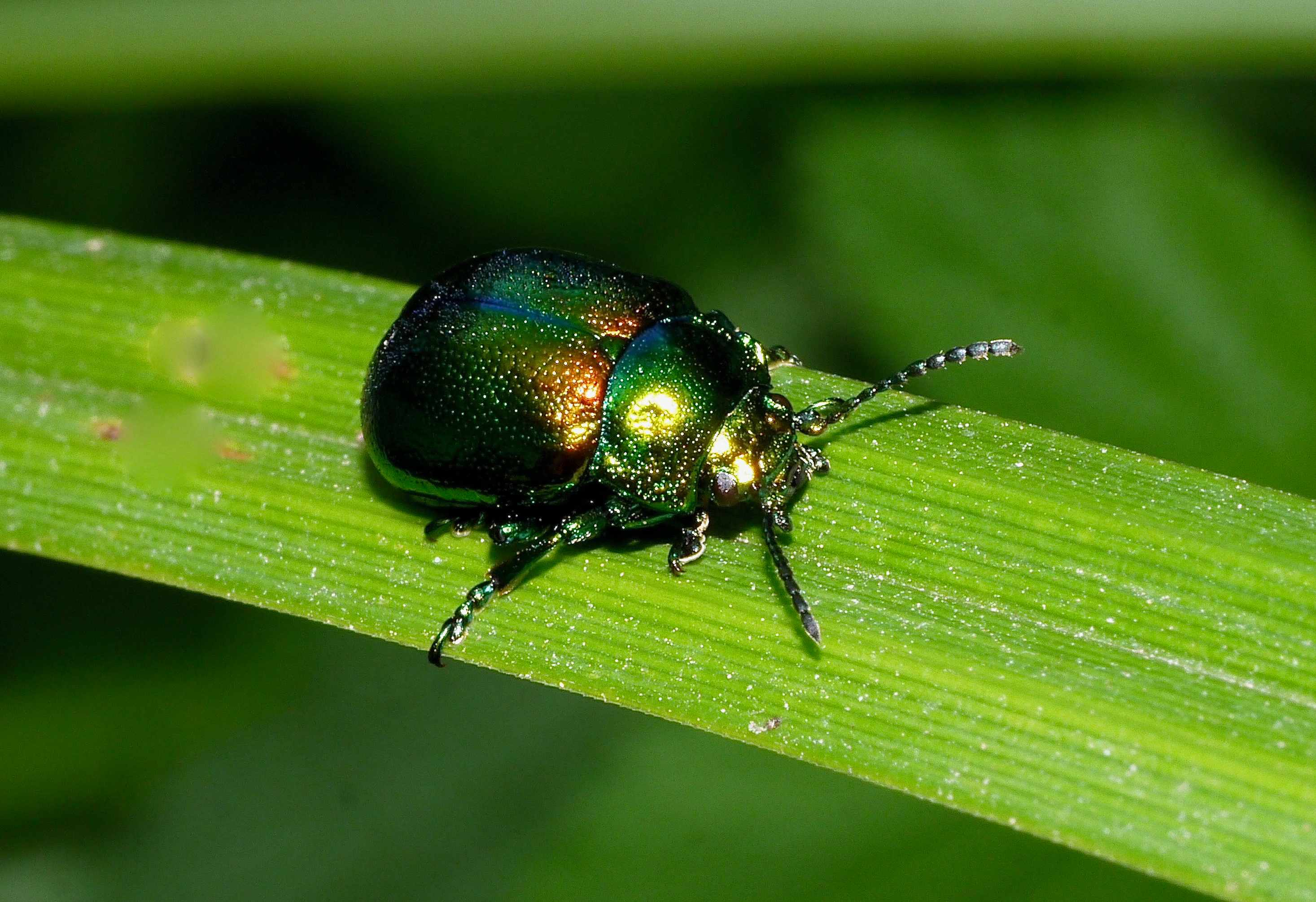 Adult tansy beetle at WWT Welney © Andy Brown