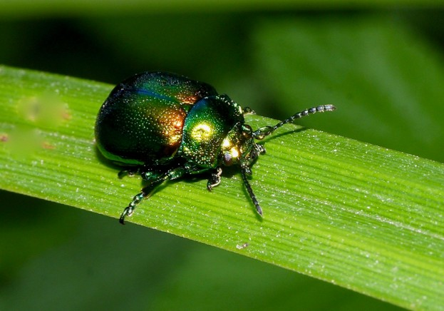 Tansy-beetle-adult-Andy-Brown_623-a1d4ea7