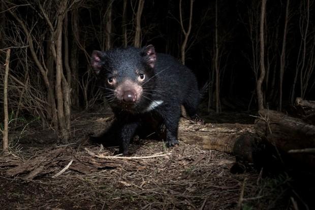 Can a warning system reduced Tasmanian devil roadkill?© Heath Holden/Getty