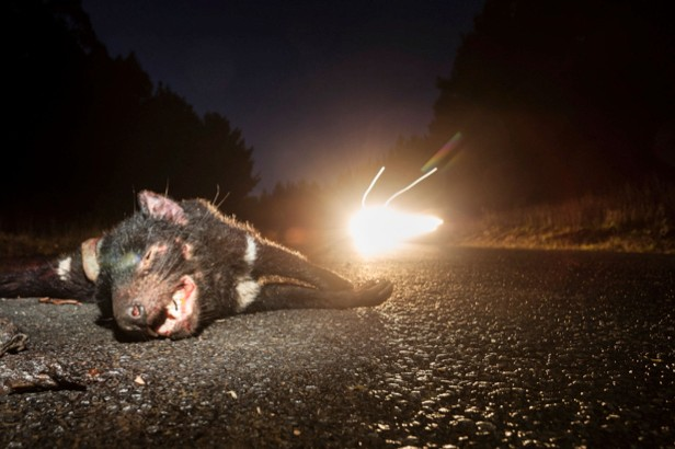 A Tasmanian devil lying at the side of the road. © Heath Holden/Getty