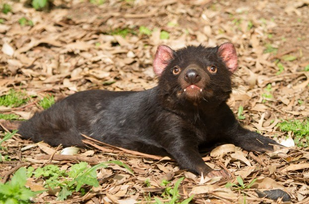 Tasmanian Devils are rapidly evolving resistance to the cancer that kills them. © Craig Dingle/iStock
