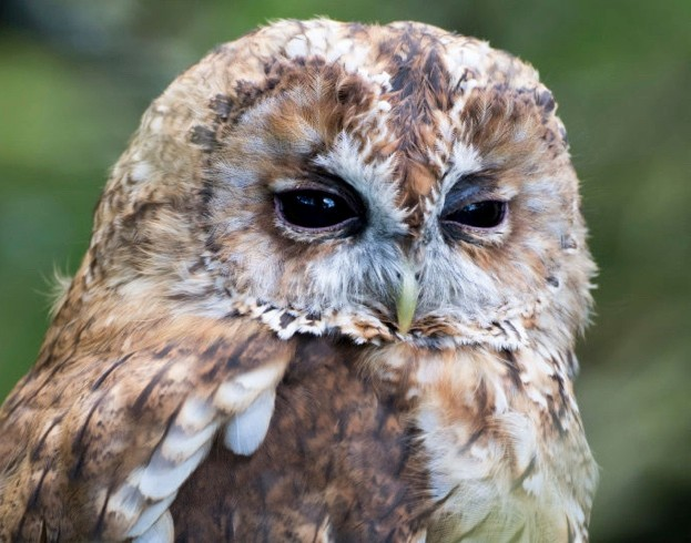 Tawny Owl at roost in woodland. Strix aluco. Captive bird.