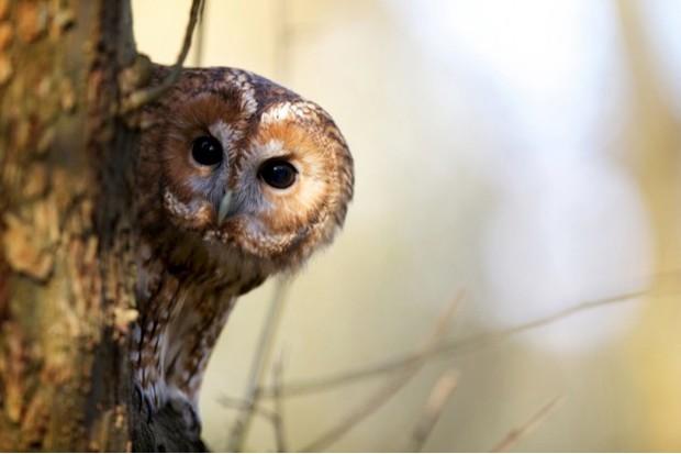 Tawny-owl_Mark-Bridger_623-0781eef