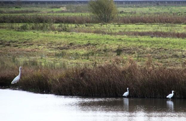 Three-egrets_623-561c8d5