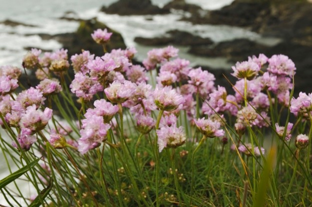 Thrift, or Sea Pink, Armeria maritima, flowering on on cliffs at Thurlestone, Devon, Great Britain.