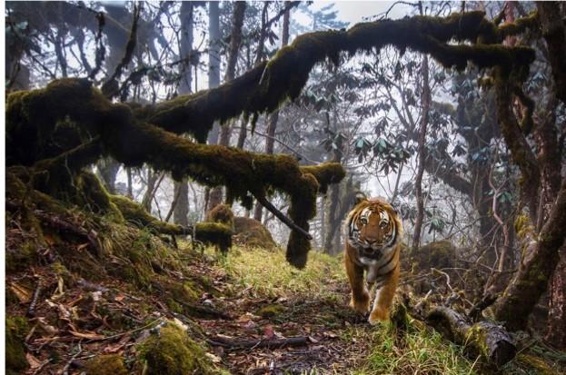 Tiger_623-4ff00b2
