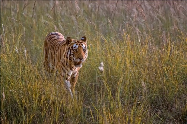 Tiger_Giovanni-Frescura_623-1f21d6a