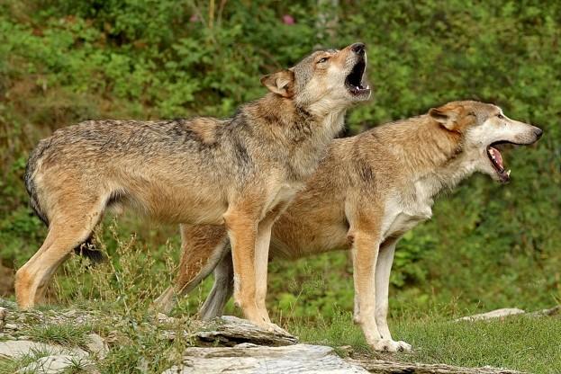 Timberwolf, (Canis lupus occidentalis), Mackenzie Valley Wolf, Deutschland, Germany