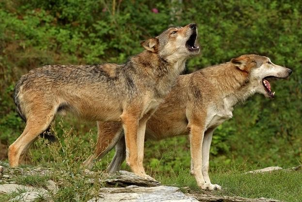 Timber wolves (a subspecies of grey wolf) in Germany (captive animals). © Erich Thielscher/McPhoto/ullstein bild/Getty