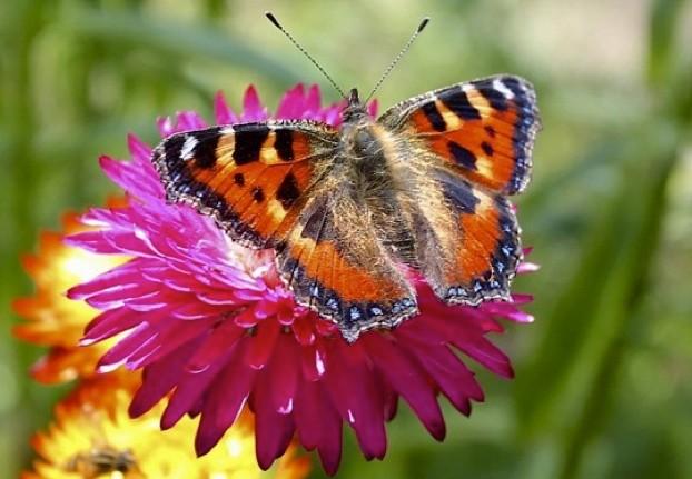 Tortoiseshell-butterfly_623_Bill-Roberts-fdd3d4c