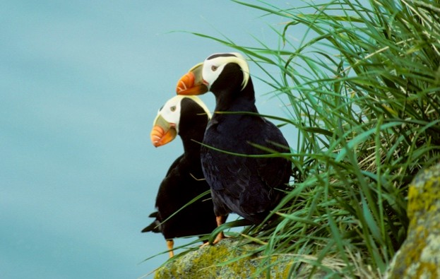 Tufted puffins (Fratercula cirrhata), coastal British Columbia, Canada.