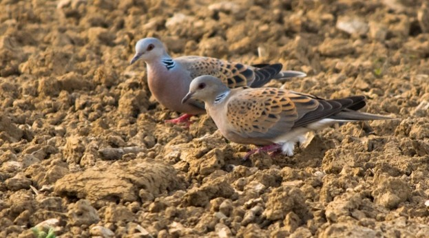 Turtle-dove-pair-_623-04dda9c