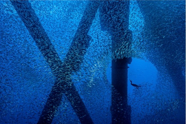 A Brandt's cormorant (Phalacrocorax penicillatus) hunts for a meal in a school of Pacific chub mackerel (Scomber japonicus), beneath an oil rig. Eureka Rig, Los Angeles, California, United States of America. North East Pacific Ocean.