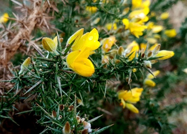 Gorse in flower during the 2017 New Year Plant Hunt © Oisin Duffy