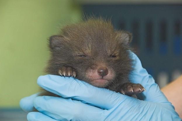 Utah, a three-week-old orphan fox cub, was found by a road. © Scottish SPCA