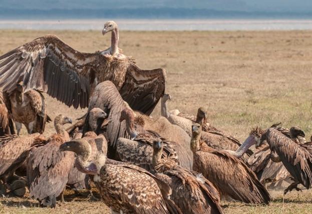 Vultures_-Chris-Minihane-Kenya_623-4a69962