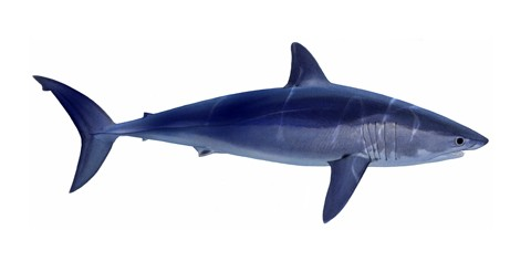 Shortfin mako shark (Isurus oxyrinchus)