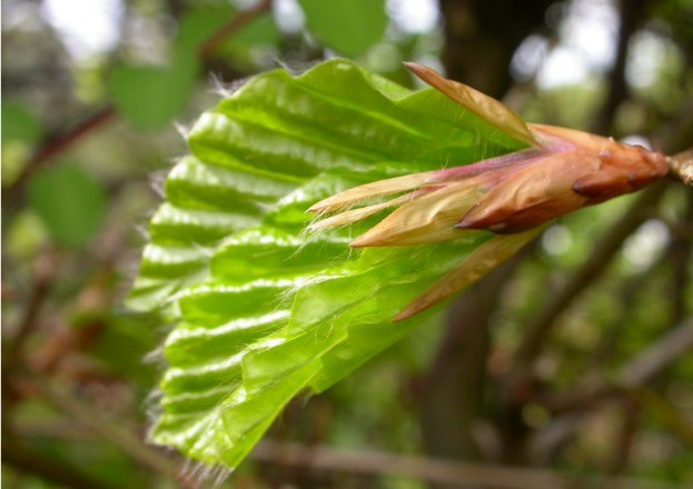 Beech leaf budding. © ChristineMartin/WTPL