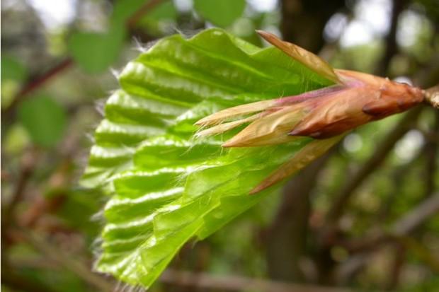 Beech leaf budding. ©ChristineMartin/WTPL