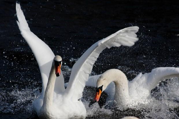 WWT_swan_aggression-43661e4