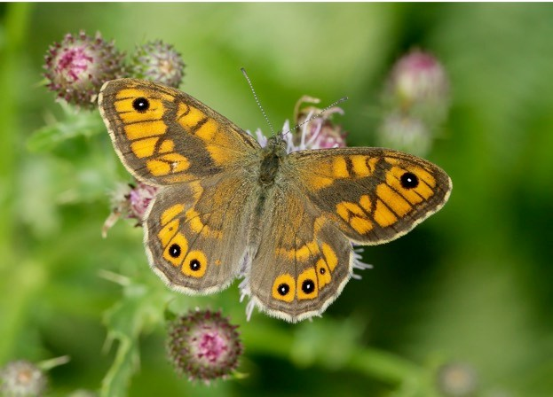 The wall now ranks amongst the most severely declining butterflies in the UK.