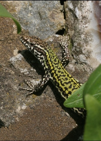 Wall_Lizard_Portrait4-2554876