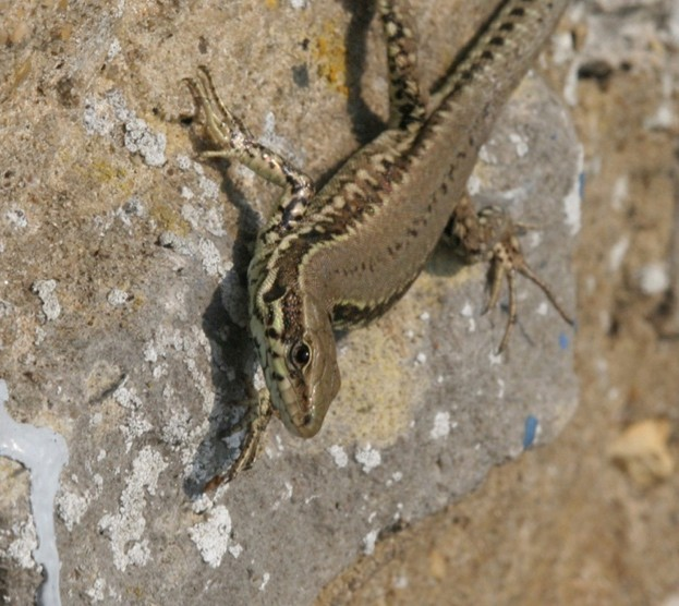 A brown-backed form of the wall lizard © Steve Langham of Surrey Amphibian and Reptile Group (SARG)