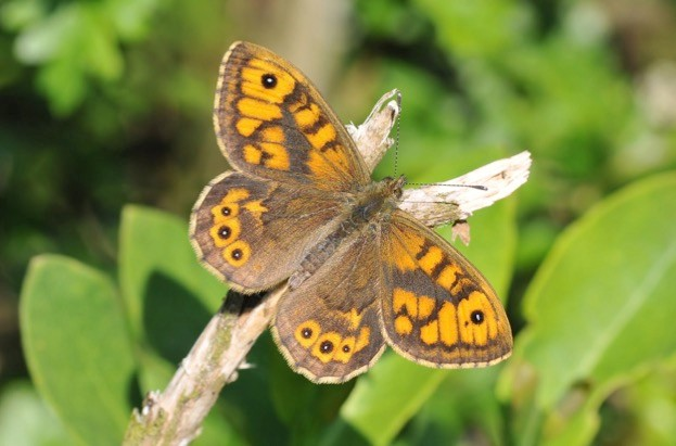 Wall brown butterflies have declined by 37 per cent over 10 years but are neonicotinoids to blame?