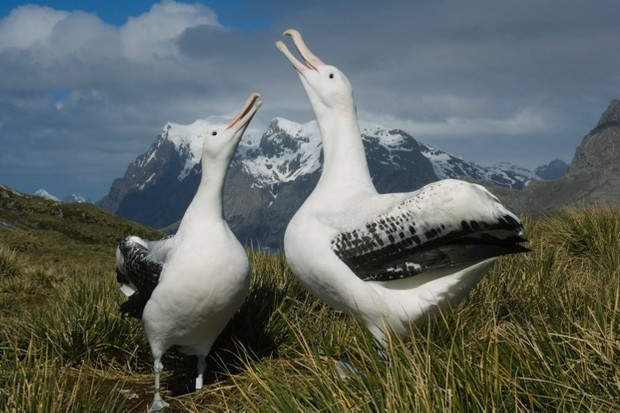 Wandering Albatross (Diomedea exulans) Displaying to one another Bird Island South Georgia island sub-Antarctic December 2005