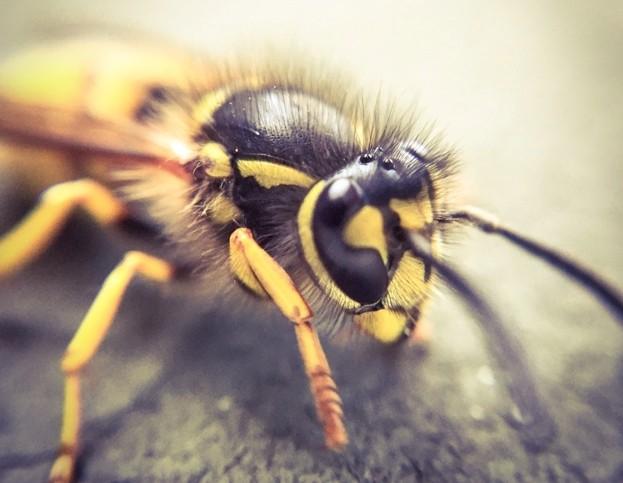 Wasp_Steve-Cook-_-EyeEm_Getty_623-00c2797