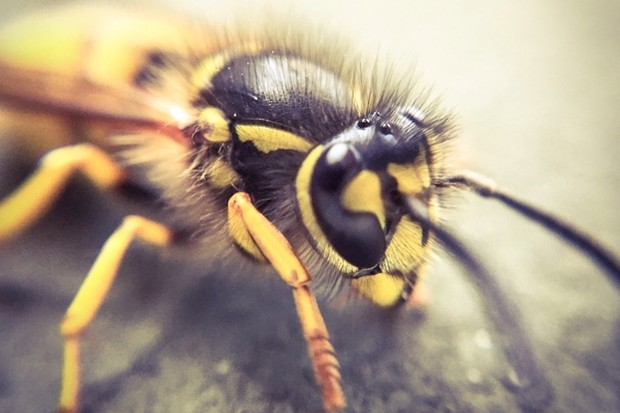 Wasp_Steve-Cook-_-EyeEm_Getty_623-00c2797