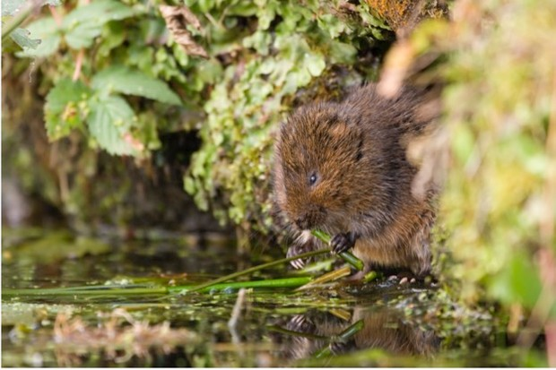 Water voles are just one of the species at risk if the M4 diversion is built through the Gwent Levels. © RSPB