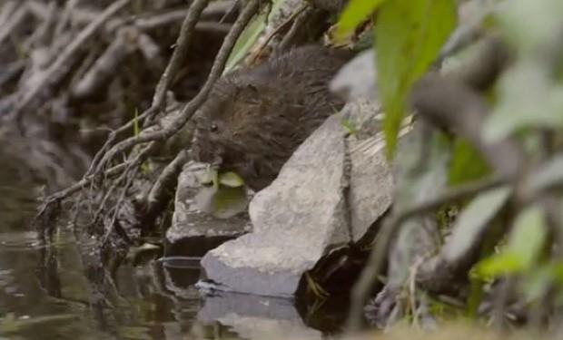 Water-vole-feeding-by-Nick-Upton_623-da275fb