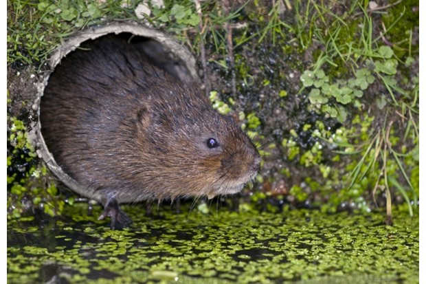 Water20vole20_20UIG203A20Getty_623-dba0760