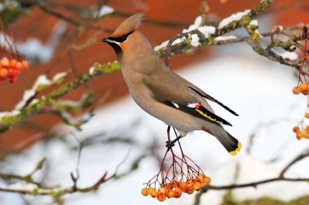 Waxwing, Bombycilla garrulus, single bird on rowan berries,    West Midlands, December 2010