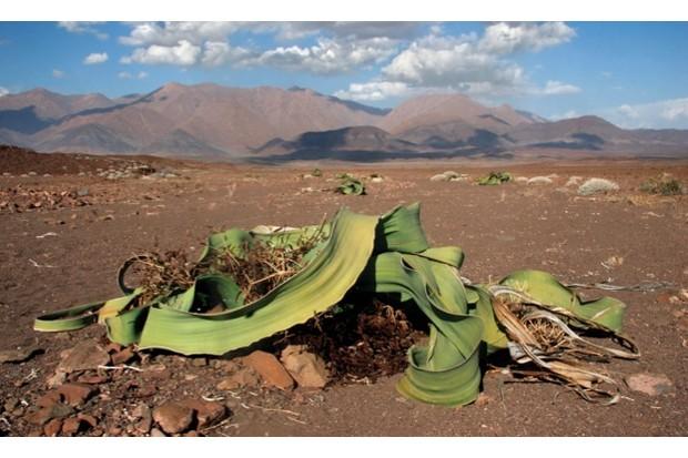 Welwitschia plant (Welwitschia mirabilis) in the Namib desert at Brandberg, Namibia, South Africa. (Photo by: Arterra/UIG via Getty Images)