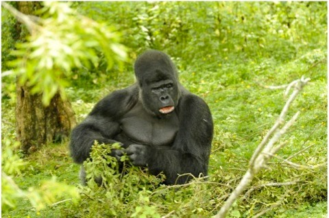 Western-lowland-gorilla_Stacy-Woollhouse_480-993963c