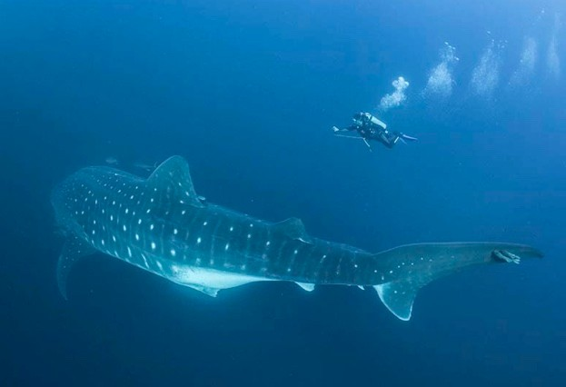 Whale shark © Simon Pierce