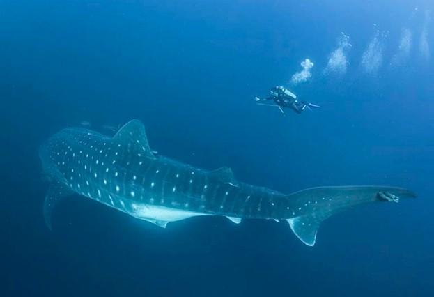 Whale shark © Simon Pierce