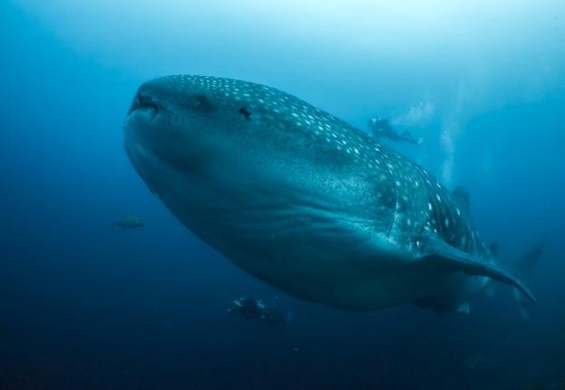 Whale-Shark-9-Simon-Pierce_623-e78a292