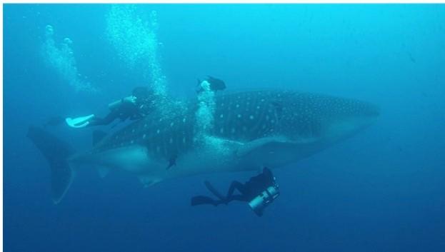 Whale_shark_sampling_David_Acuna_623-34b1208