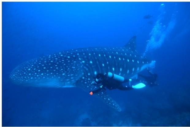 Whale_shark_sampling_Nicolas_Davalos-ae30e84