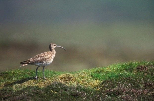 Whimbrel (Numenius phaeopus) on Scottish tundra, Shetland Islands, Scotland, UK