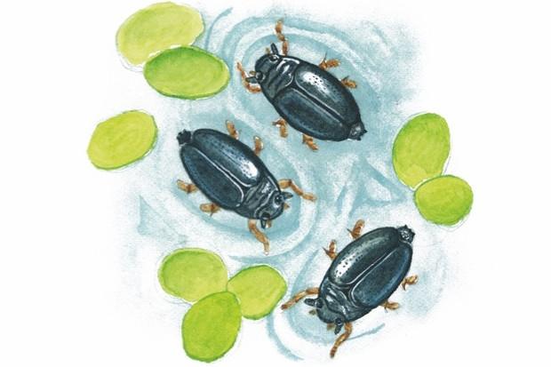 Whirligig-beetle-5b0162f