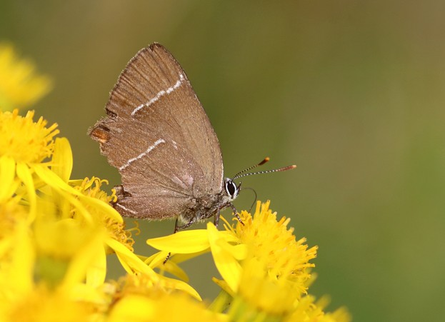 White-Letter-Hairstreak-Paxton_Iain-Cowe_623-72a69da