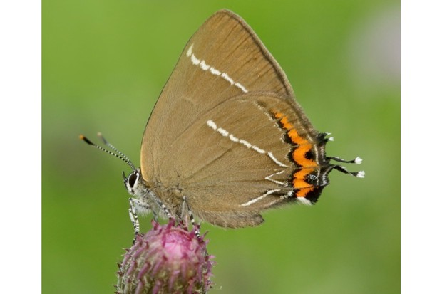 White-letter-Hairstreak_Iain20H20Leach20Butterfly20Conservation_623-a1ccc92