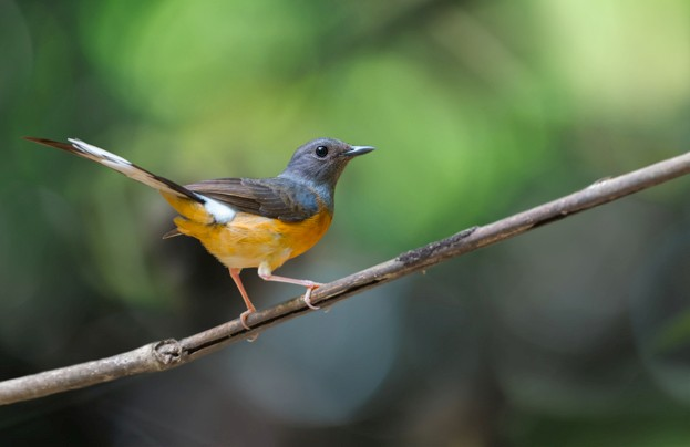 The white-rumped shama has been removed from the list of protected species after pressure from bird traders © Momnoi / Getty