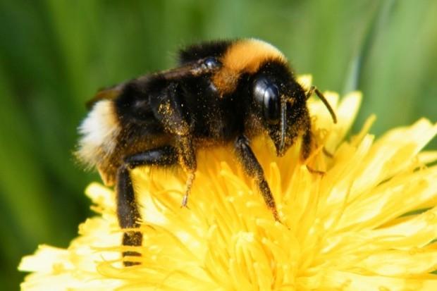 White-tailed-bumblebee_Danni-Thompson_623-799076f